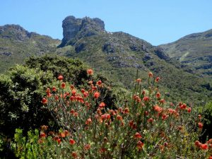 Nursery Buttress from Kirstenbosch
