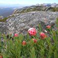 Protea venusta (photo by Nick Helme)