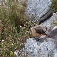 A Sentinel Rock-Thrush (female) - seen in Silvermine.