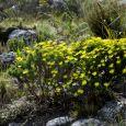 Flowering Euryops